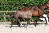 Zirocco Blue VDL foals
